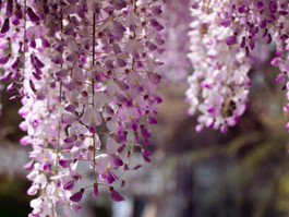 The Best Places for Wisteria Hysteria in London - Primrose Hill and Chalk Farm