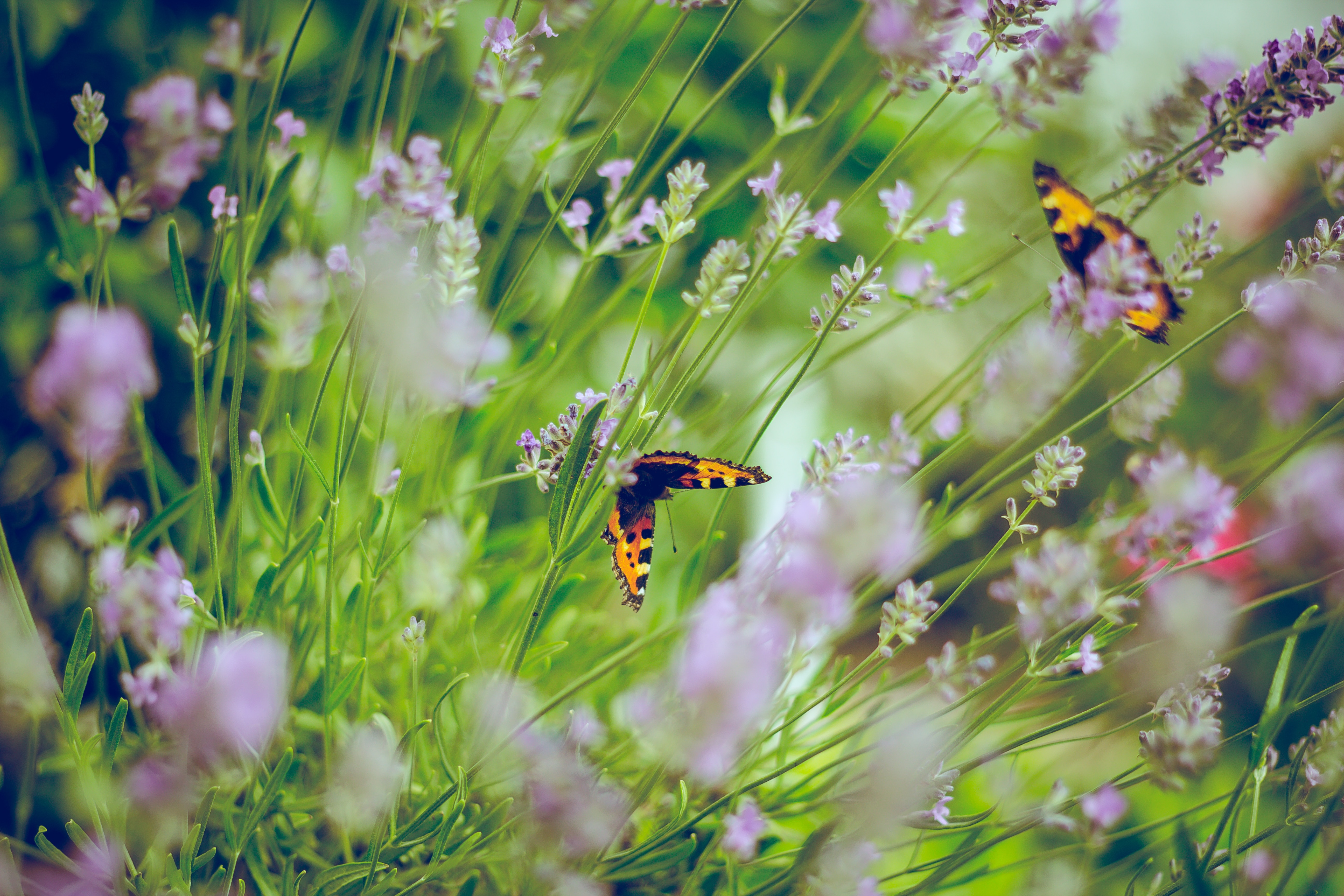 Lavender and Butterflies in the Garden