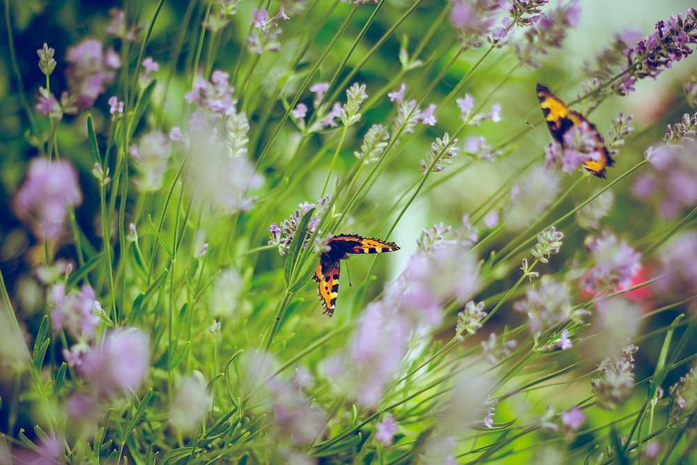 Attract Butterflies To My Garden