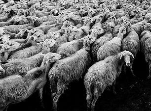 mass media sheep