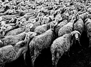 mass media sheep