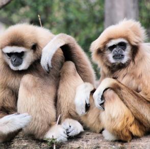 Volunteer Work Phuket Thailand   Gibbon Rehabilitation Project
