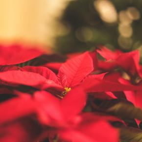Annual Poinsettia Sale