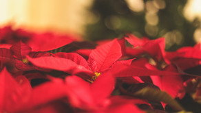 First Annual Poinsettia Sale Fundraiser Underway Through Nov 11