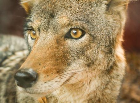 Willie il coyote