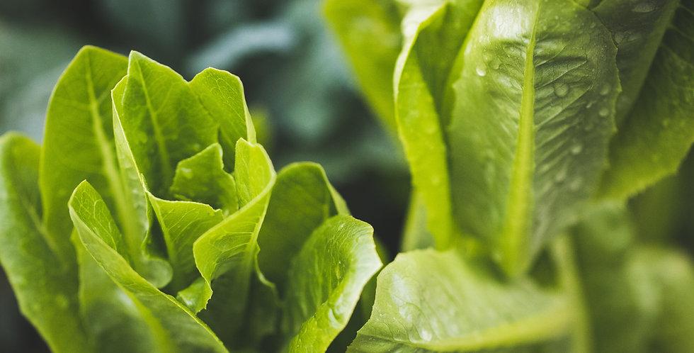 Lettuce- Romaine 6-pack