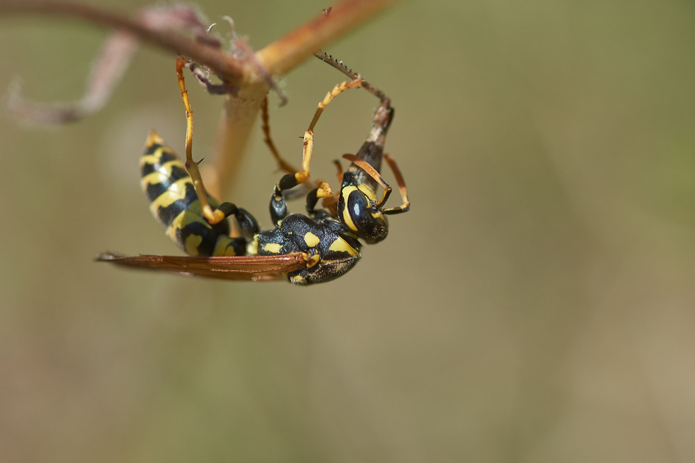 hornet wasp at Ash Street Cooperative