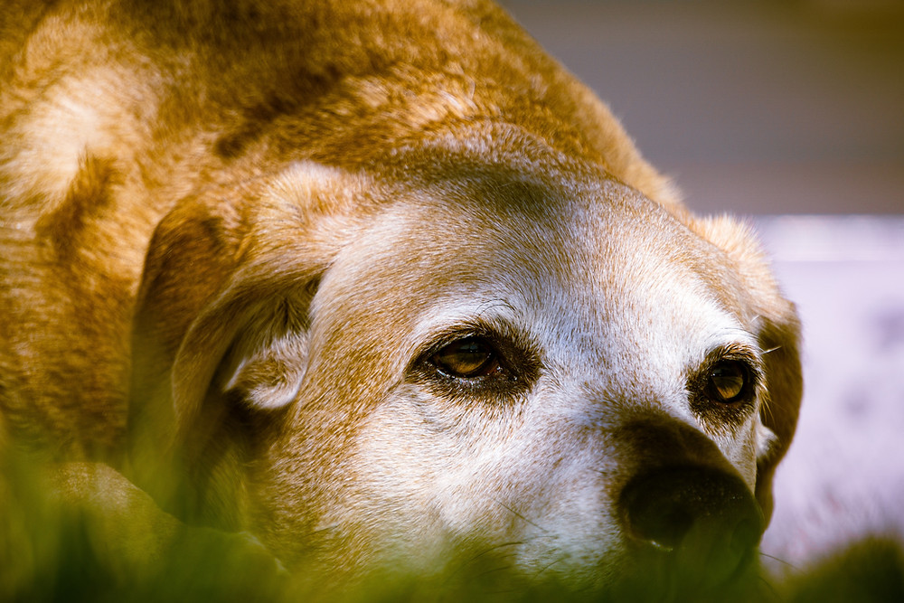 old dog laying down