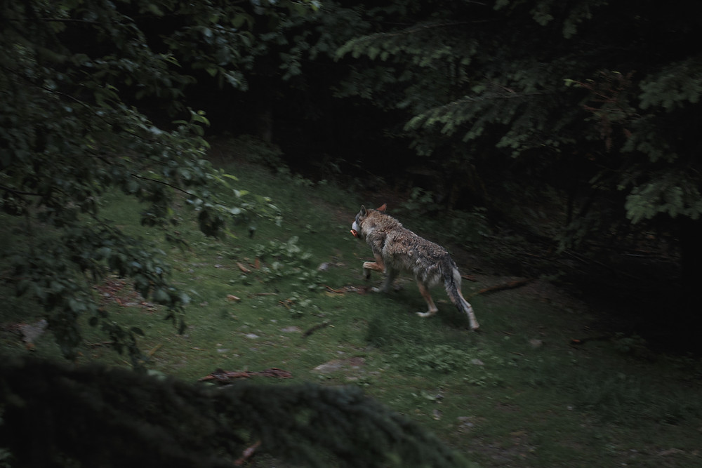 Wolf or Werewolf
