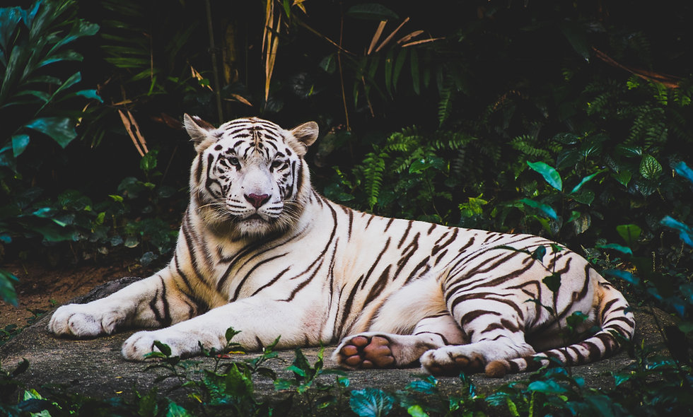 White Tiger Animal Specializations seventh eighth Science classes online kid grades homeschool curriculum online programs