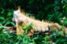Iguane, Guanacaste