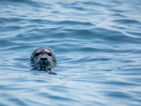 Selkies - Myths from the Celtic Sea
