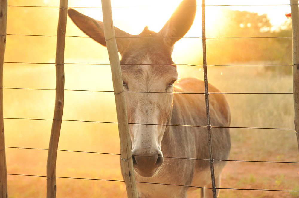 This is not the Mule That Changed the World. But it got your attention, didn't it?