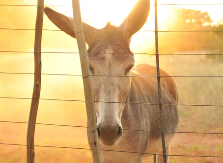 The Mule That Changed the World