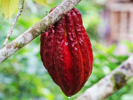 Cacao: the raw chocoholic