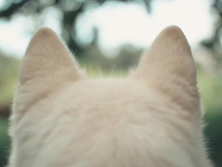 Inilah Tips Membersihkan Telinga Kucing Paling Mudah