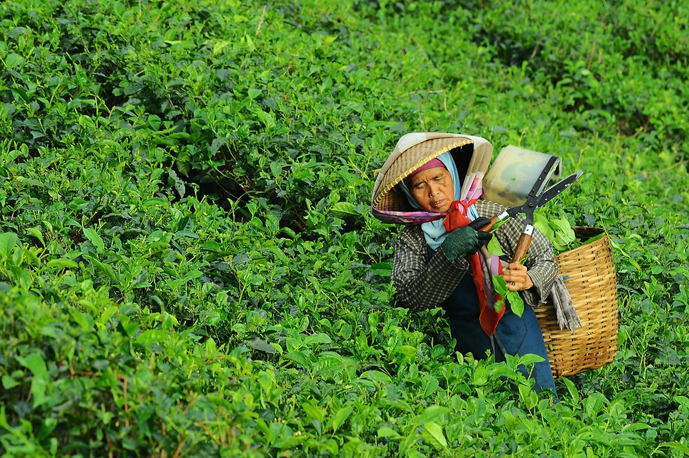a woman is picking tea in a tea garden
