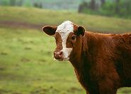 Livestock fertilisation | Rize ag