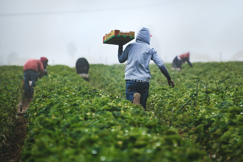 A group of people pick fruit from a field.