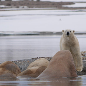The Polar Bears' New World