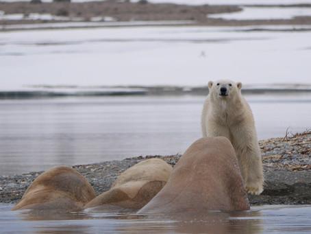 Churchill Manitoba Polar Bear Capital of the World