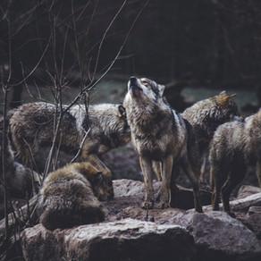 Communication animale : message du Loup.