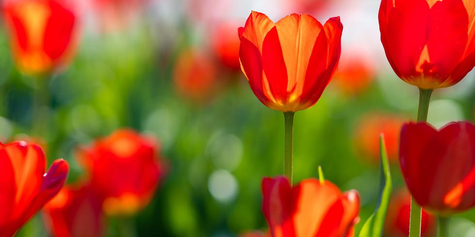 Springtime In the Tulips!