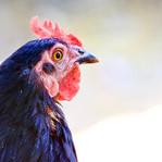 Cranky khansamahs and Kadaknath chicken
