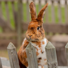 You never know who you will find free roaming in our Rabbitry!