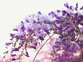 The Best Places for Wisteria Hysteria in London - Camden
