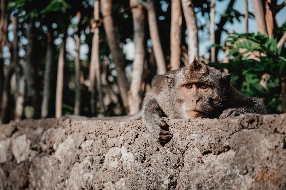 Monkey, Bali monkey, Uluwatu, Bali temple