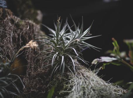 Tillandsia: una pianta per aria!