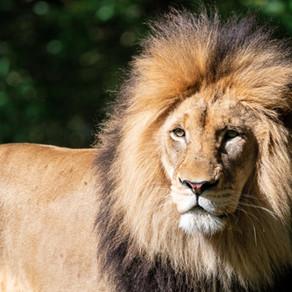 Löwe-Vollmond 🦁