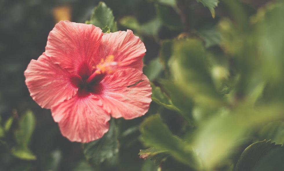 Hibiscus - biologische teelt - 50 gr.