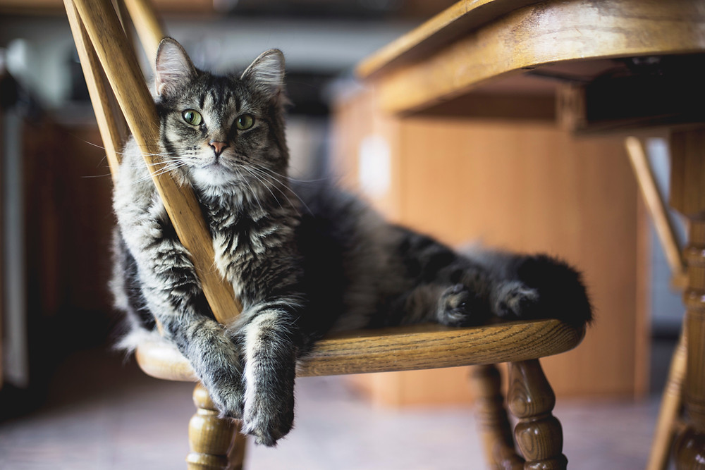 Cat relaxing on a wooden chair