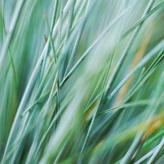 Perennial Grasses