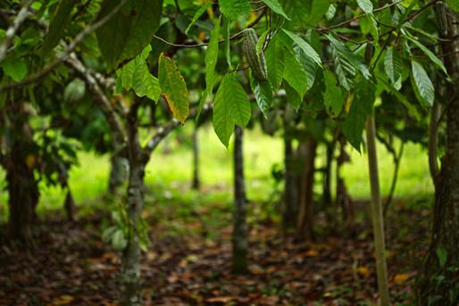 Plantation de café, photo de Kristiana Pinne