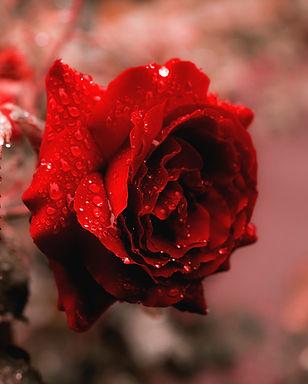 Rose Home Remedies   Ayurveda Book