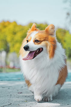 Dunbroke Toy Aussies and Pembroke Welsh Corgis - Priceville, Ontario - Dog Breeder - Alvan Nee Unsplash