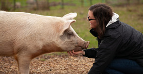 The difference between African swine fever and swine flu