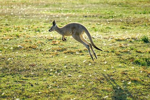 Kangaroos: Habitat, Prey, and Behaviors