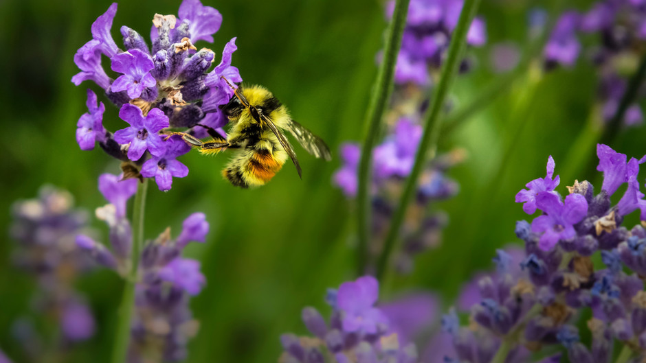 Wildflowers, bees and plant species thrive in Cambridgeshire after changes to roadside verges