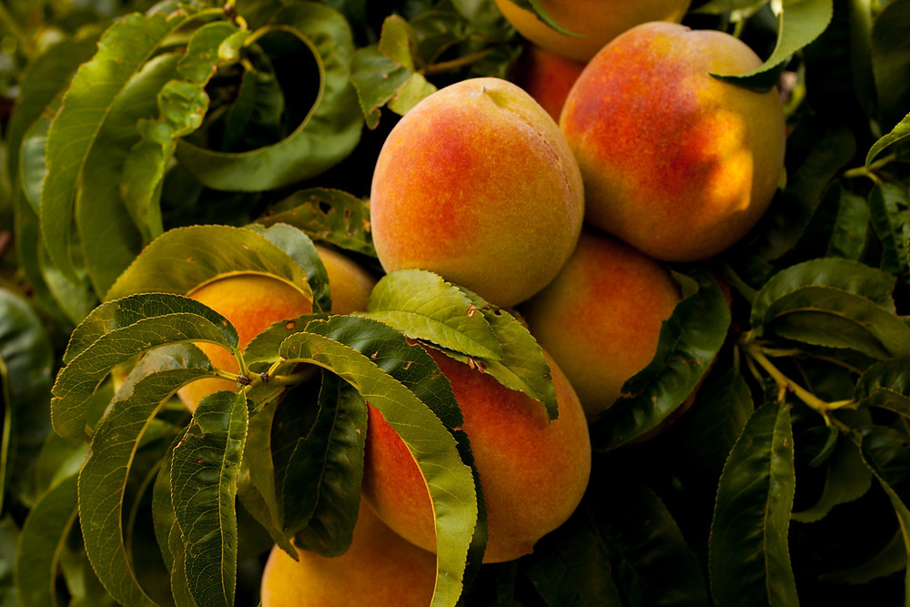A bunch of peaches on a peach tree.