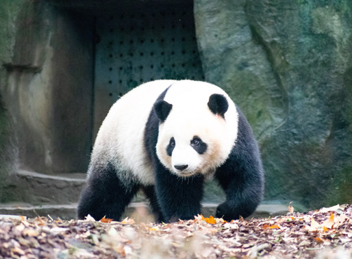 Chengdu Research Base for Giant Panda Breeding