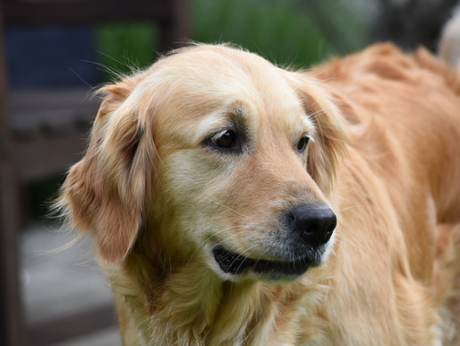 La dysplasie de la hanche chez le chien