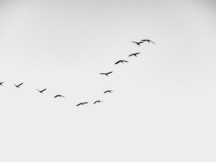 A Musing about Geese