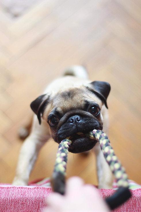petit chien mordant une corde