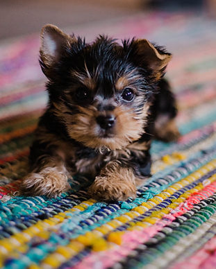 Small furry puppy on rug. Image by hannah grace