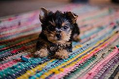 Yorkie - Dog Inspired