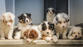 How To Select A Puppy Breeder